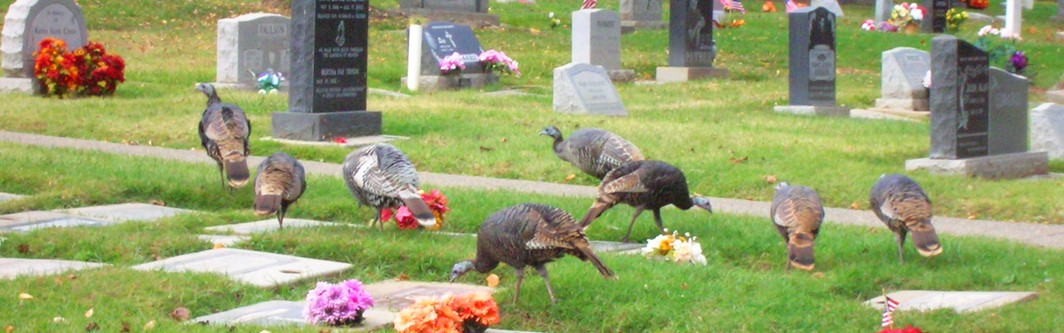 Turkeys visiting graves