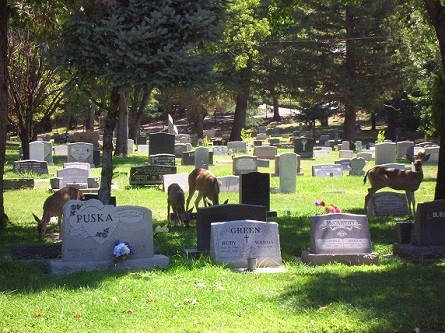 Deer visiting graves
